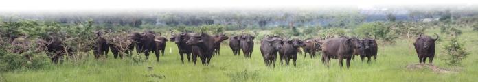 BuffaloPano